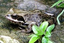 UK Amphibians & Reptiles
