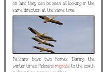 Pelicans Unit of Study