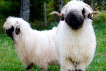 Sheep Are Awesome