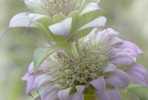 Lamiaceae / Lavender, salvia, clerodendrum, mint