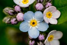 Flora... Forget me nots... Blooms with a message... / Small, delicate, beautiful... / by Rosalyn Smaill