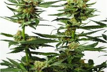 Léčivé konopí / http://www.rostliny-semena.cz/cz/seminka-marihuany-konopi/