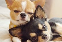 Chihuahua love / Love for my Elie the Chihuahua puppy and his mates