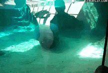 Dene sjøelefanten må få briler
