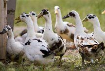 Ducks / by Rabbit Ridge Farm (Jordan Charbonneau)