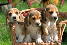 Adorable Beagles & Puppies! / I had a mini beagle growing up named, buttons. My finace Ben also had a med beagle named, Lady. We both love beagles. Although I love all small puppies. / by Events Beyond {Event Designer & Planner}