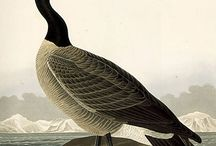 Ducks illustrations