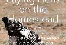 Homestead: For the Birds / Chickens, Turkeys, Ducks, Guineafowl, etc. Tips, tricks, hacks, and information about the care of the feathered livestock on a homestead.