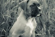 "Boxers / My favorite dog breed ""Boxer""   Love my 4 boxers, nothing better!!! / by Debi Boudreau 💖💖💖💕💕💖💖💖"