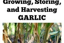 plants garlic