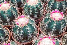 melocactus / cactus, succulents, bloom, flower