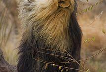 Sterke Løver /Leopard:))