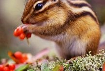 Animals: Chipmunks / Photo galleries dedicated to chipmunks.