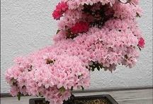 Bonsái /Bonsai Tree
