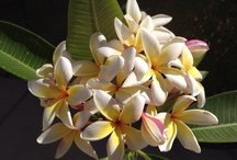 Plumeria / by Joy Ackerman