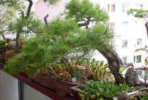 Renata Kaiserová - moje bonsaje / bonsaje a sukulenty které pěstuji , bydlím ve 4 patře a lodžie je situovaná na západ ,bonsaje jsou stále na lodžii , sukulenty jsou letněné jaro-podzim