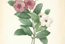 Rosensköna