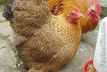 Pekin Bantam Chickens