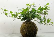 Kokedama String Gardens by Greenovia Crafts / Koke-what? Kokedama! Known as lazy-man's bonsai, this Japanese style of planting is suitable for almost any kind of plant, from ferns to succulents to orange trees. You may be surprised to learn that kokedama are really easy to take of at home or in the office.