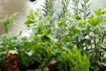 Kočičí tráva, cat grass, catnip
