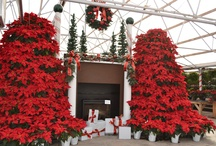 Poinsettias at Stutzmans Greenhouse