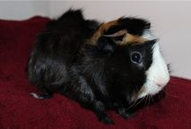 My Guinea Pigs Simon and Cake / My favorite furry pigs