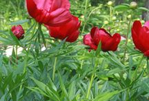 BLOOM | Herbaceous Very Early Reds / The earliest herbaceous peonies to bloom