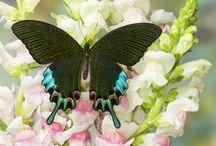 Papilio inspo