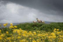 Sheep / Icelandic sheep