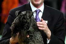 Dog Shows: Professional Handlers