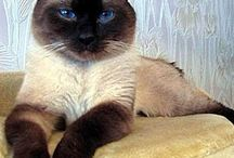 cat with blue ayes