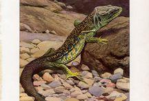 Lizards, snakes - drawings, prints