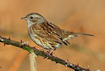 Birds-Prunellidae-Accentors / The accentors are in the only bird family, Prunellidae, which is endemic to the Palearctic; All members of this family belong in a single genus: Prunella.