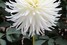Dahlias - White