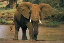 Elephant strength & wisdom