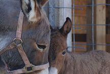 Donkeys,pónik