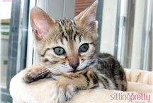 Sittingpretty Bengal cats and kittens for sale / Our current Bengal kittens for sale  www.sittingprettycats.co.uk