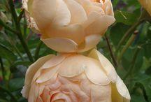 Rózsák / ezek a szép növények igazán jól mutatnak egy kertben!