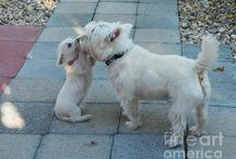 Westies / Westies are awesome! If you agree you will enjoy our pins of the West Highland White Terrier pictures. We cover from the cute to the funny!