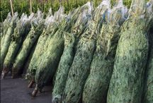 Real Christmas Trees at Johnstown Garden Centre