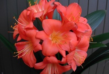 Utopia Clivias- my most famous clivias / These are named clivias which I have selected and bred with over the years.
