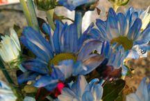 Fotografia flores azul