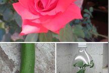 rose stegies