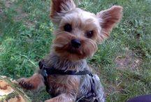 ZUZU / My little Yorky friend