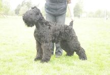 Black Russian Terrier / International Dog's Personal Websites Catalogue