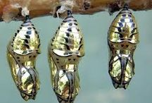The Chrysalis / What could hold a more mysterious and beautiful treasure? / by Insect Lore