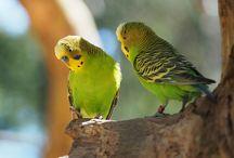 Melopsittacus / La cocorita è il pappagallino più diffuso in tutto il mondo, grazie alle sue spiccate doti di simpatia, vivacità, alla sua robustezza e semplicità di gestione