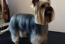 yorkie haircuts / by Alicia Pettit