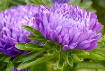 Asters / by AW