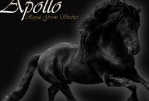 Royal Grove Stables ~ Home of Apollo, Ster Friesian Stallion standing at stud. / Royal Grove Stables is home of the world famous, Harold v.R. aka Apollo. He's a Ster Friesian Stallion, Pre. FHS Approved Breeding Stallion & Pro. FSA Approved Breeding Stallion. Standing at stud.